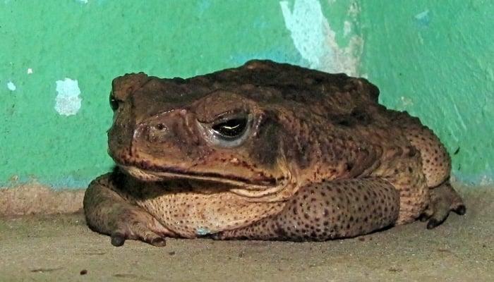 Cane toad in Costa Rica