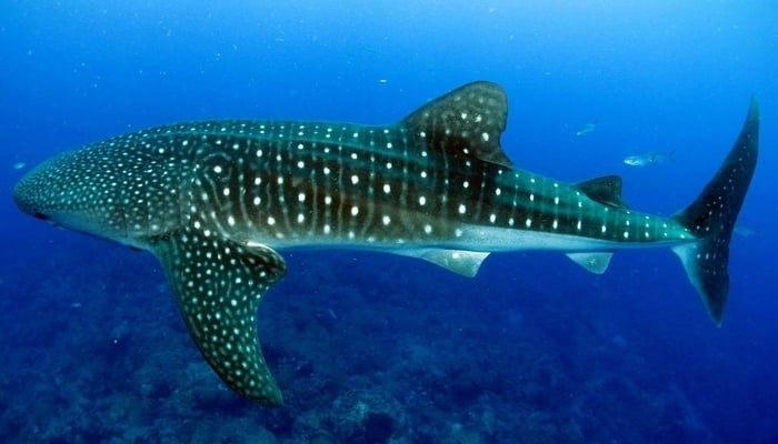 Swimming With Whale Sharks In Belize