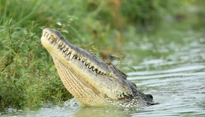 Crocodiles in Belize: American Crocodile