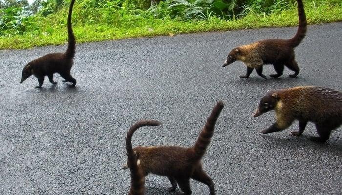 Pizotes in Costa Rica / Photo credit to Jona Sibija